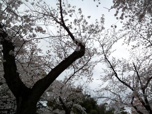 亥鼻城の桜